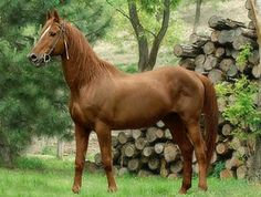 Gidran horse. A chestnut-colored Hungarian breed from bloodstock that included the Arabian. It is critically endangered today, with only about 200 living horses, most in Hungary. photo: Lothar Lenz.
