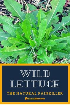 The fast acting Natural Painkiller. Wild Lettuce is a plant which can grow 6 feet tall. It has yellow flowers and spiny leaves. Healing Herbs, Natural Healing, Medicinal Weeds, Edible Wild Plants, Herbs For Health, Wild Edibles, Natural Medicine, Cannabis, Just In Case
