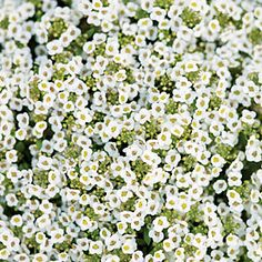"Sweet alyssum: Honey-scented blooms are, of course, a natural for bees. Plant it around your vegetable garden and the bees will polinate your ""home produce"""