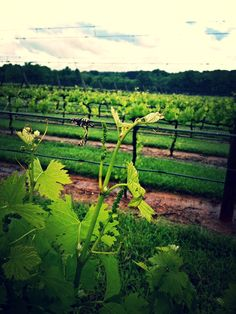 Reaching at week five! #vineyard #wine