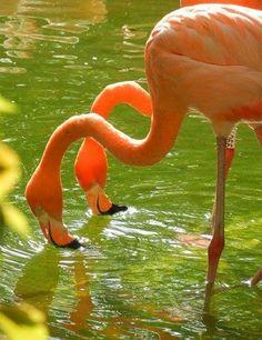 The scoop on flamingos. Pretty Birds, Love Birds, Beautiful Birds, Animals Beautiful, Peach And Green, Light Spring, Creative Colour, Pink Flamingos, Long Legs