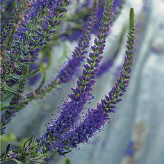 'Purpleicious' speedwell (Zones 4 to 8)
