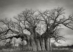Photo Beth Moon - Bufflesdrift Baobab - Portraits of Time: Ancient Trees Le Baobab, Baobab Tree, Bristlecone Pine, Tree Woman, Old Trees, Tree Photography, Stunning Photography, Photography Magazine, Tree Forest