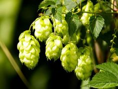 "Saaz Beer Hops Vine - Humulus - Grow your own Beer! - 4"""" Pot"