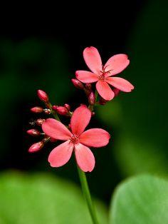 Jatropha integerrima, commonly known as Peregrina or Spicy Jatropha