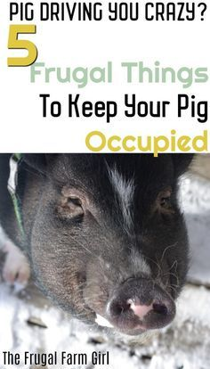 Ready to get rid of that darling pet pig of yours? here are mini pig enrichment ideas. Winter can be a tough time when your pig is stuck inside. Don't break the bank. Here are five frugal tips to keep your pig entertained and keep your own sanity. Mini Pig Food, Mini Pigs, Baby Pigs, Pet Pigs, Farm Animals, Animals And Pets, Kune Kune Pigs, Pot Belly Pigs, Pig Pen