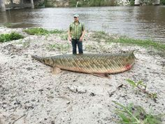 Alligator Gar. Giant