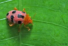 Pink Leaf beetle / ด้วงเต่าสีชมพู   Order - Coleoptera Subor…   Flickr