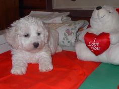 Kijiji: BICHON FRISE PUPPIES ... Registered and Ready to Go!