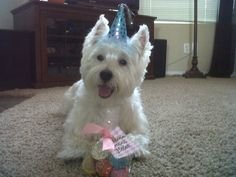My Westie Beau on his 5th birthday.