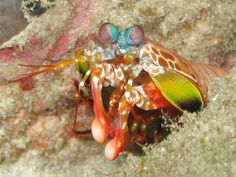 Mantis Shrimp  Wielding the fastest punch in the animal kingdom' its clubbed arms reach speeds of 50 mph' the mantis shrimp maims its prey with only a few blows.