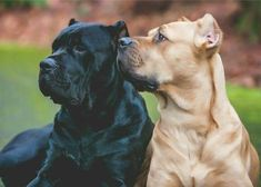 Savvy is a red fawn corso, but otherwise looks just like the one on the right Cane Corso Italian Mastiff, Cane Corso Italiano, Cane Corso Mastiff, Cane Corso Dog, Cane Corso Puppies, Mastiff Breeds, Mastiff Puppies, Beautiful Dog Breeds, Beautiful Dogs