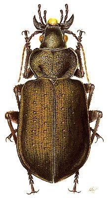 Calosoma auropunctatum (Carabidae)