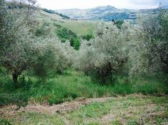 Some of the 100 olive trees on Fonte Monache that range from 100 to 200 years old.