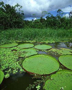 Lily pads, Amazon River Basin, near Iquitos, Peru.  Photo: Jim Zuckerman