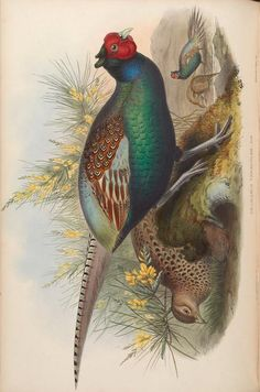 more@ - 1850 - Birds of Asia / by John Gould; Science Illustration, Bird Illustration, Botanical Illustration, Illustrations, Animal Sketches, Drawing Sketches, Drawings, Zoo Art, John Gould
