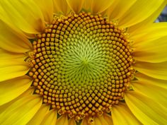 It is said this Golden Ratio occurs a lot in nature, and it kind of does. One of the most often given examples, the spiral of the nautilus sea shell, is not a golden ratio spiral. Ah well… still, the golden ratio does have a role in Sunflower heads!