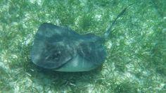Southern stingray by sharkfan18