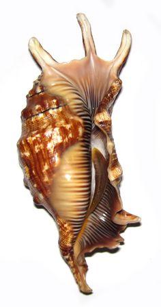Shells And Sand, Sea Shells, Nautilus, Shell Game, Jewel Of The Seas, Snail Shell, Sea Snail, Seashell Art, Starfish