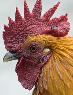 Breeds of Roosters with Photos   Beschrijving Rooster Profile.jpg