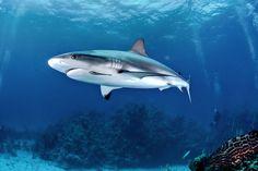 Black Tip Shark, Reef Shark, Shark Swimming, Ocean Life, Whale, Explore, Drawings, Sharks, Needle Felting