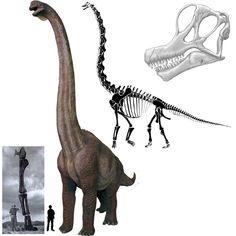 El Braquiosaurio fue uno de los dinosaurios más grandes hallados, con un peso de hasta 80 toneladas aprox. Se caracteriza por el prolongado cuello y las largas patas delanteras. En este sentido sorprende el parecido físico con la jirafa. Su altura se hallaba en torno a los 13 metros. Tenía las fosas nasales en la parte superior de la cabeza. Su nombre significa reptil brazo. Perteneció al periodo Jurásico. Altura: 13 metros. Longitud: 23 metros. Encontrado en Norteamérica y Sudáfrica