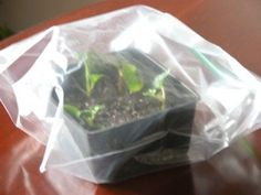 How to Grow Roses From Stem Cuttings