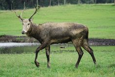 Elaphurus davidianus 001 - Deer - Wikipedia, the free encyclopedia
