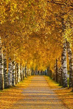 Gold of Autumn - Stiklestad alle (avenue), Verdal, North Trøndelag, Norway.