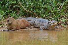 Caimán y capibara a la orilla del río.