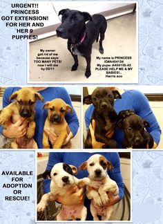 ~~ THE FAMILY WILL DIE 03/11/16~~Houston, Save Lives is our Mission**SHELTER BEGIN TO HELP THIS FAMILY! PRINCESS AND HER 9 PUPS PLEASE THEY GOT LAST EXTENSION, ONLY UNTIL 03/11, THEY ARE AVAILABLE FOR RESCUE OR ADOPTERS!!..Pups are eating on their own, mom is very proud on her babies, but wants all of them SAFE!!.
