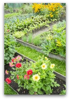 Companion planting zinnias and marigolds in the garden helps repel insect pests, and adds color and interest as well.