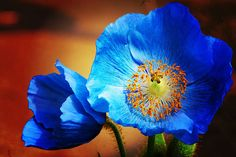 Blue Poppies. I think this would be pretty painted on newspaper :]  (I think it would be pretty inked on my skin)