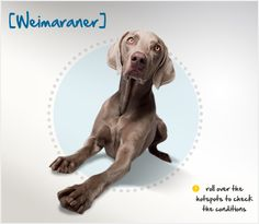 "Did you know that its short silver coat gives the Weimaraner its nickname, ""The Grey Ghost?"" Read more about this breed by visiting Petplan pet insurance's Condition Checker!"