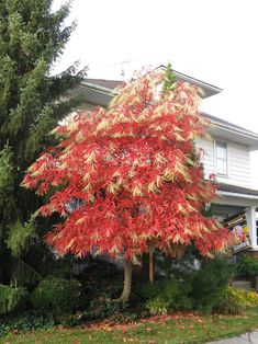 Oxydendrum arboreum with fall foliage!