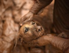 Bombeiro resgata cadela de dentro da lama em Paracatu de Baixo, em Mariana (MG), Brasil