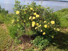 Rose jaune, je les adore