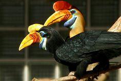 Knobbed hornbill(Rhyticeros cassidix