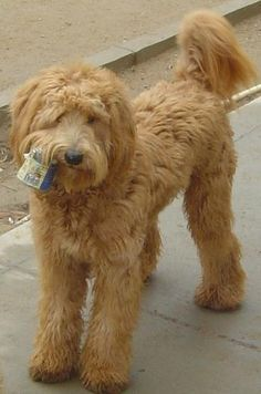 Australian Labradoodles they are like living breathing teddy bears!! I love this cut!!