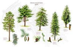 te 83 nadelb ume und str uche b ume in 2018 pinterest leaf art plants und nature tree. Black Bedroom Furniture Sets. Home Design Ideas