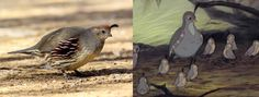 Left: female California quail by Alan Vernon (creative commons). Right: Screenshot of quail with babies from Bambi. Art of Emily Willoughby: Top 10 Fictional Birds Based on Real Birds