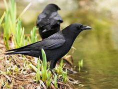 "The Hawaiian crow, also known as the Aumaka in the native Hawaiian tongue, is now extinct in the wild, with only 109 remaining in ""captivity"""