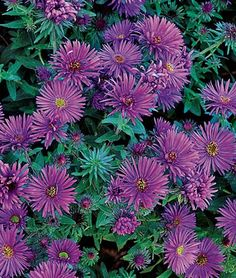 """Aster, Purple Dome  Masses of purple flowers with bright yellow centers.  (A. novae-angliae). The glory of autumn, these natives are widely adapted and nearly pest-free. Purple 1½"""" flowers with yellow centers. Blooms Sept-Oct."""