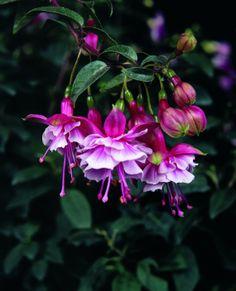 Fuchsia (Trailing) 'Lancashire Lad'