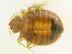 Adult female Bed bug, Cimex lectularius Linnaeus | by Armed Forces Pest Management Board
