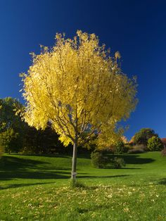 Fraxinus-Golden-Ash-Tree