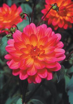 One of my favs from Old House Gardens. This dahlia, Winsome (1940) blooms abundantly all summer and into early fall. Easy to grow, too!