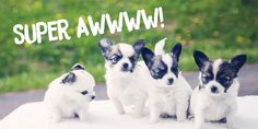 Super cuties ~ Animal Design, Husky, Corgi, Pets, Animals, Corgis, Animales, Animaux, Animal