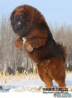 Tibetan mastiff!! These dogs look so funny!!!