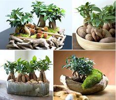 22 Cuttings, Propagation, Ficus Microcarpa, Mini Bonsai, All Plants, Green Life, Houseplants, Amazing Gardens, Window